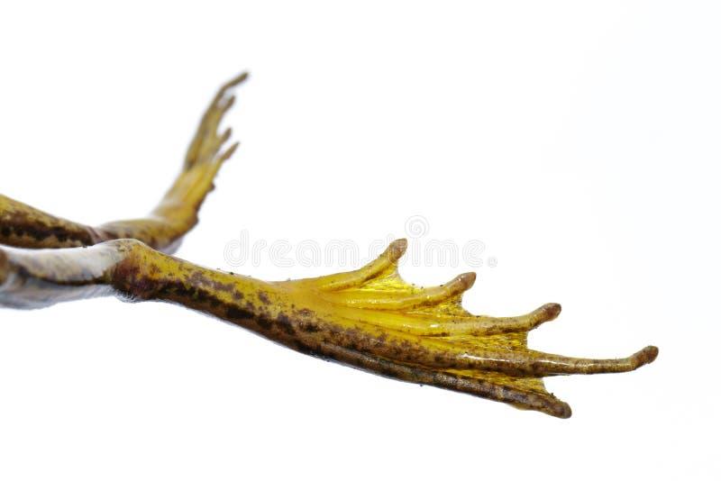 Изображение ног лягушки, лягушки рисовых полей зеленой или зеленого erythraea Раны лягушки падиа в наличии Лодкамиамфибия r стоковые фотографии rf