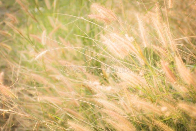 Изображение одичалых трав, малая глубина поля макроса Винтажное влияние Травы красивой сельской природы дикие на золотом заходе с стоковая фотография