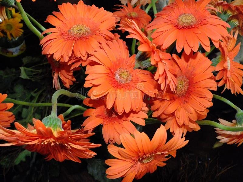Изображение оранжевых покрашенных цветков георгина стоковые фотографии rf