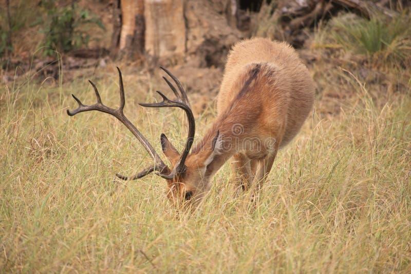 Изображение отличая оленями в злаковике стоковое фото