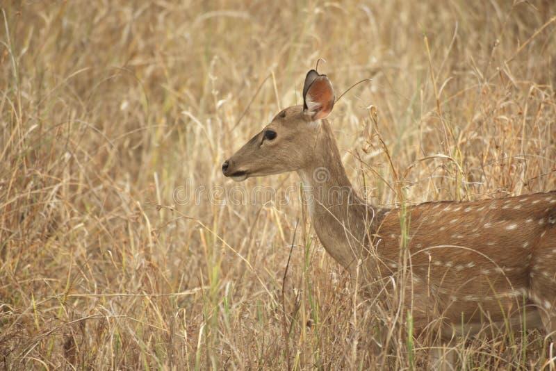 Изображение отличая оленями в злаковике стоковое фото rf