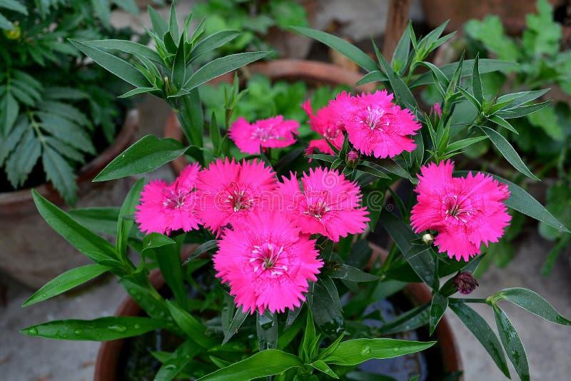 Изображение розового цветка гвоздики стоковое фото rf