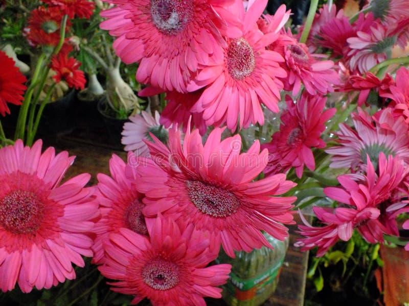 Изображение розовых цветков георгина стоковое изображение rf