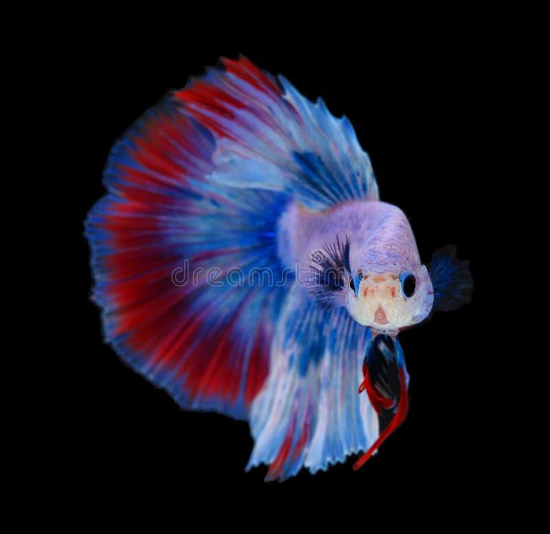 Изображение рыб betta изолированных на черном моменте действия предпосылки moving рыб Betta полумесяца цветка сиамских воюя стоковые изображения rf