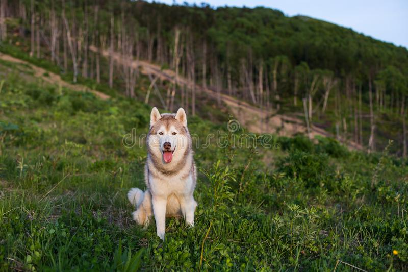 Изображение свободной бежевой и белой собаки сибирской лайки сидя на холме в лесе на заходе солнца на предпосылке горы стоковые фото