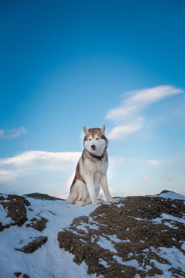 Изображение сибирской лайки сидя вверху утес на заднем плане гор и лесов на заходе солнца в зиме стоковое фото rf