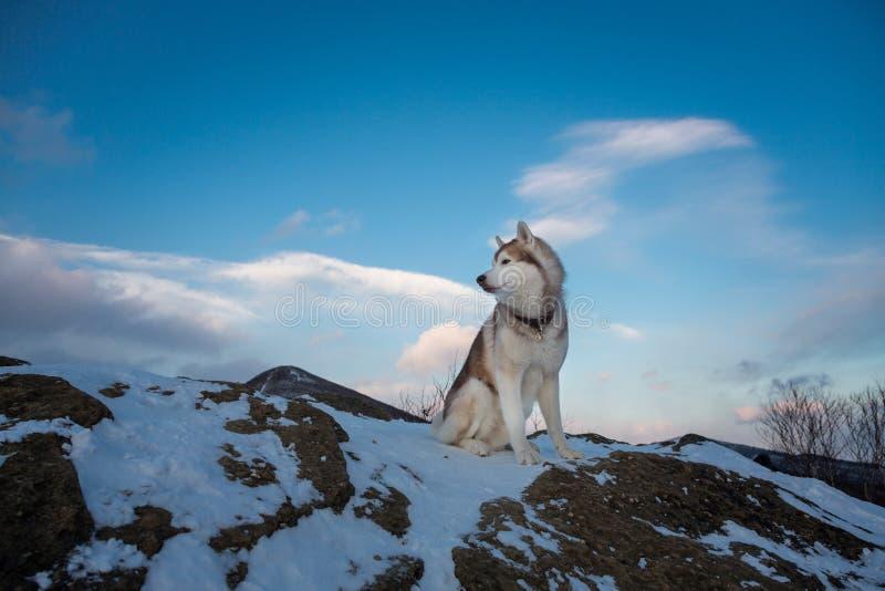 Изображение сибирской лайки сидя вверху утес на заднем плане гор и лесов на заходе солнца в зиме стоковые фотографии rf