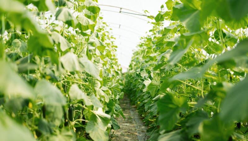Изображение строки растущих заводов в оранжерее стоковые изображения rf