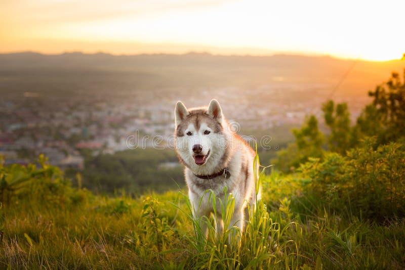 Изображение счастливого бежевого и белого сибирского сиплого положения собаки на холме на заходе солнца на горах и предпосылке го стоковая фотография rf