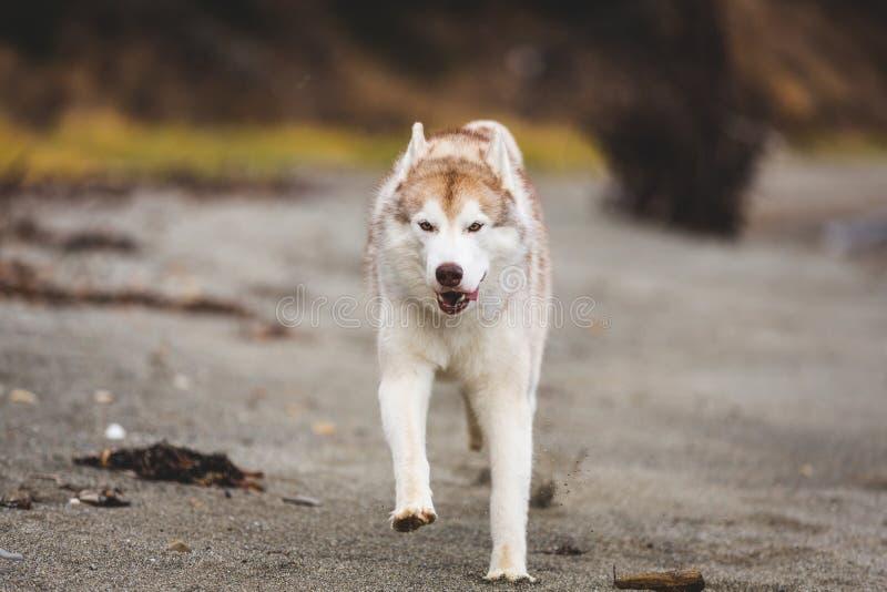 Изображение счастливой и свободной собаки бежа и белых сибирской сиплой бежать на пляже на взморье в осени стоковое изображение rf