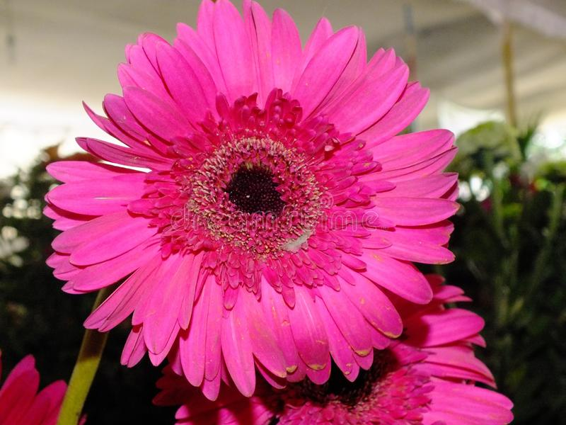 Изображение темных розовых цветков георгина стоковые изображения rf