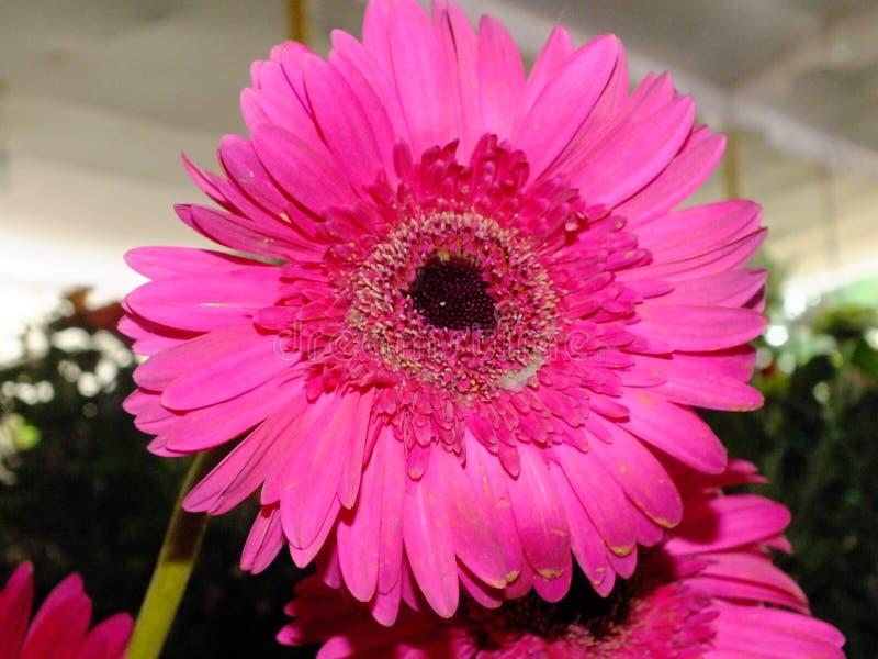 Изображение темных розовых цветков георгина стоковые изображения