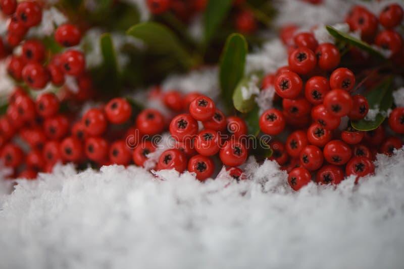 Изображение фотографии природы сезона зимы красного завода pyracantha Firethorn ягоды в снеге стоковая фотография rf
