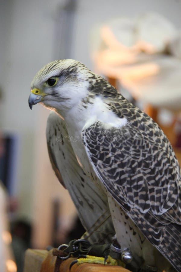 Изображение хищной птицы стоковая фотография