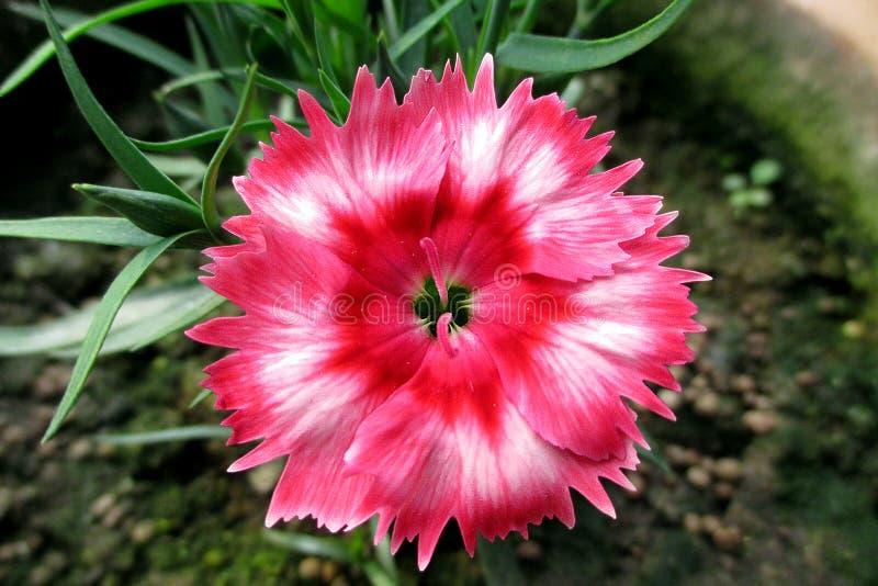 Изображение цветка гвоздики цвета смешивания пинка & белизны стоковые изображения rf