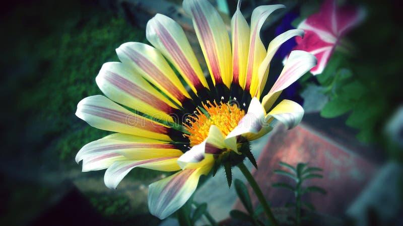 Изображение цветка Gazania стоковые изображения