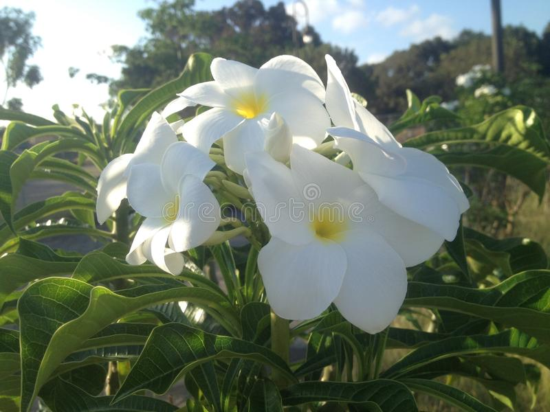 Изображение цветка Plumeria белого стоковые изображения rf