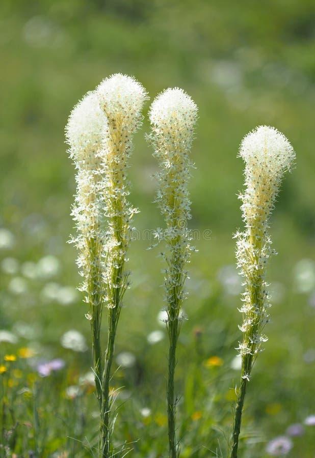 Изображение штабелированное фокусом травы медведя стоковое изображение