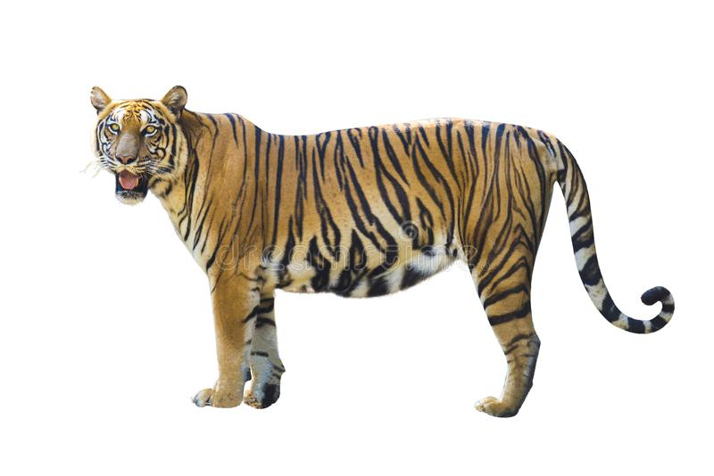 Изображения тигра на белой предпосылке имеют различные команды стоковые фотографии rf