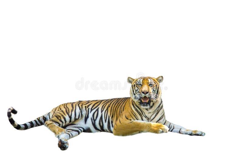 Изображения тигра на белой предпосылке имеют различные команды стоковые изображения