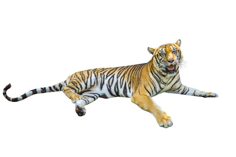 Изображения тигра на белой предпосылке имеют различные команды стоковое фото