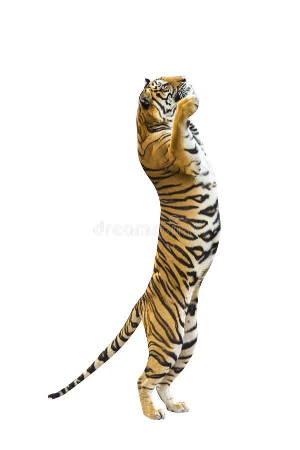 Изображения тигра на белой предпосылке имеют различные команды стоковые изображения rf