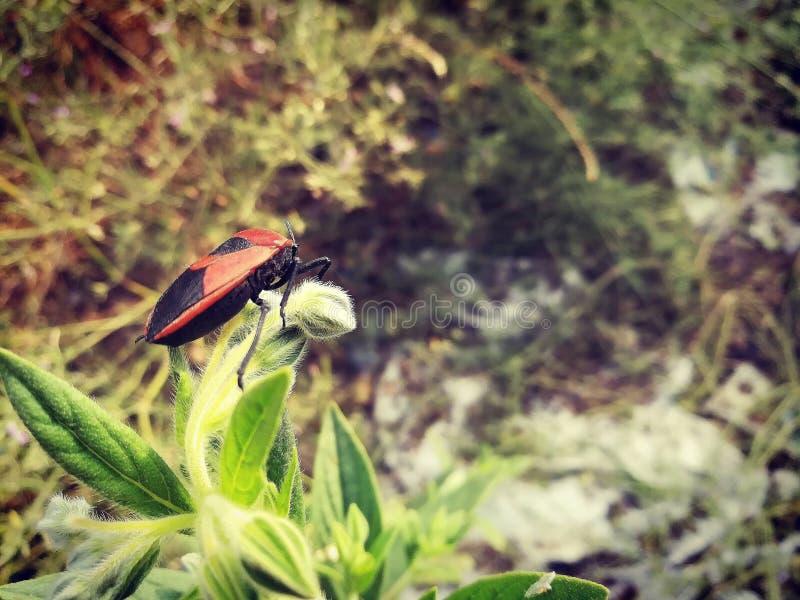 Изображения Betaal HD стоковые фотографии rf