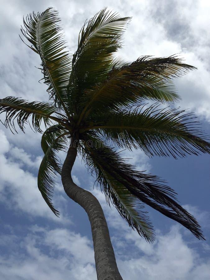 Изогнутая кокосовая пальма стоковая фотография