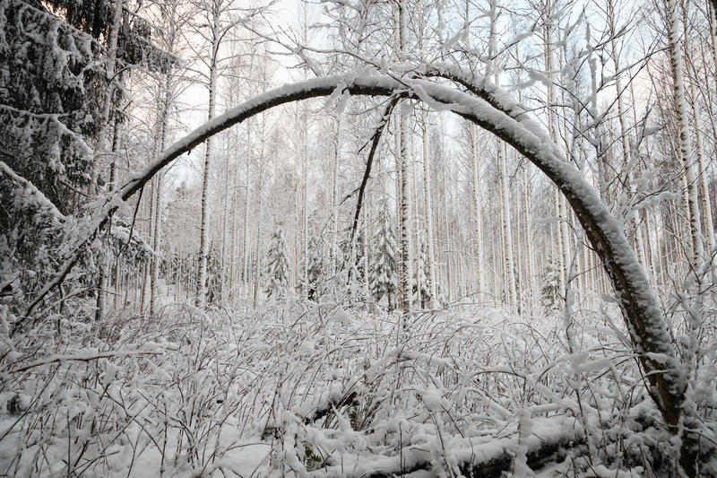 Изогнутое дерево в зиме стоковое изображение rf