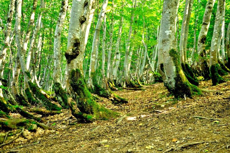 Изогнутые старые деревья перерастанные с мхом Вырастите на большом наклоне стоковое изображение