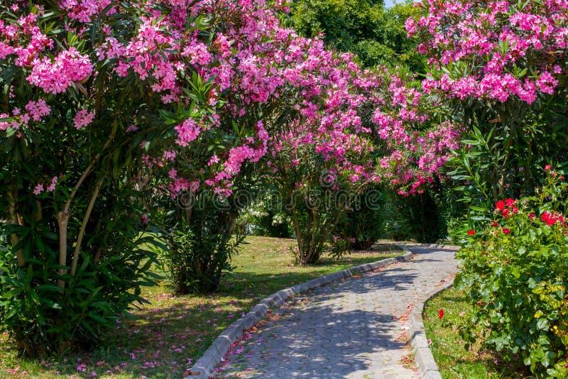 Изогнутый переулок между кустами с розовыми цветками Каменные блоки покрыты с розовыми лепестками В парке с красивыми цветками стоковая фотография