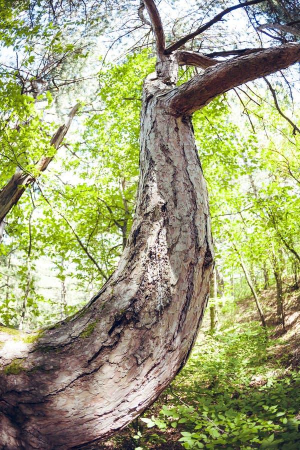 Изогнутый ствол дерева нижний взгляд стоковые изображения