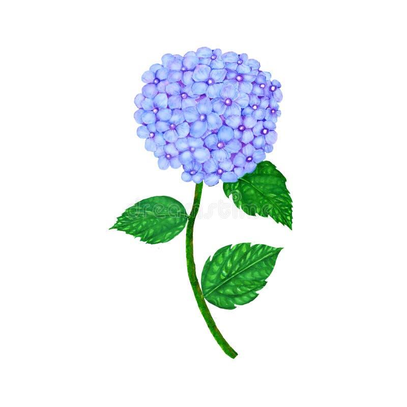 Изолированная акварель гортензии Hydrangea на белой предпосылке Иллюстрация акварели покрашенная рукой гортензии иллюстрация вектора