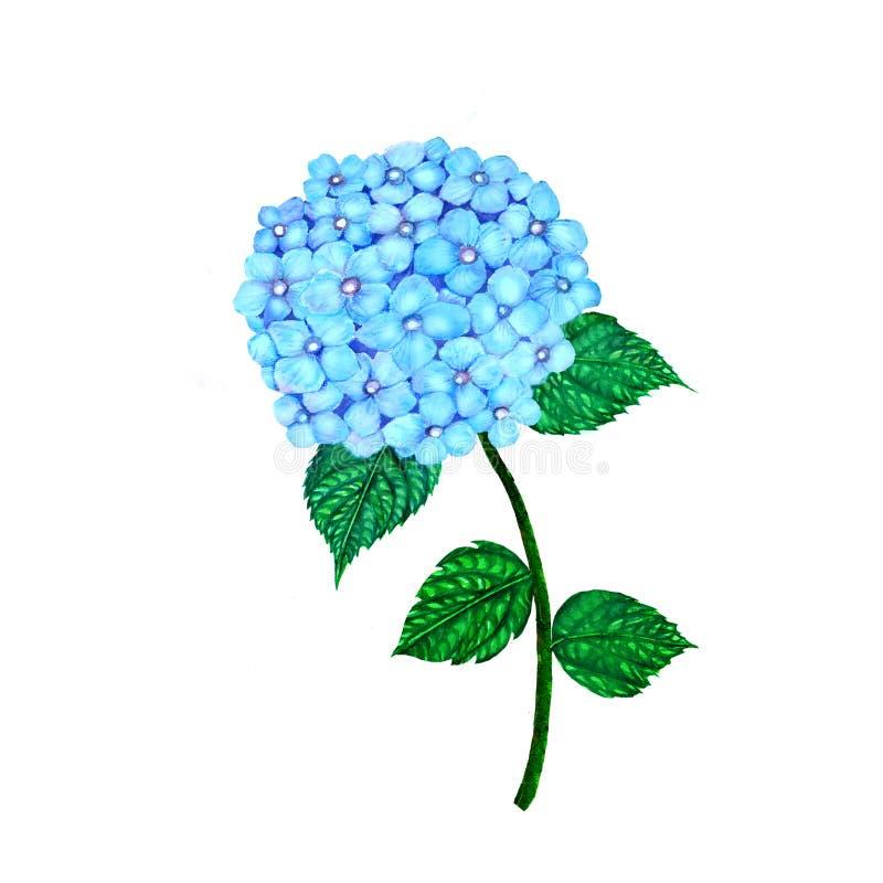 Изолированная акварель гортензии Hydrangea на белой предпосылке Иллюстрация акварели покрашенная рукой гортензии иллюстрация штока