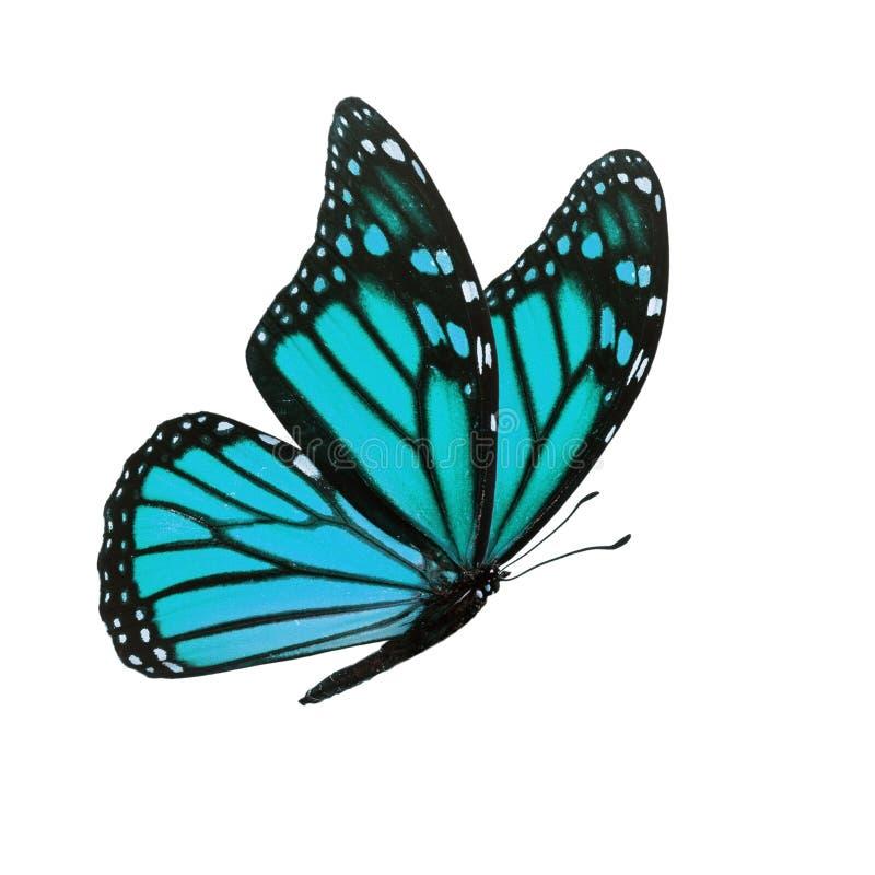 Изолированная бабочка монарха стоковая фотография rf