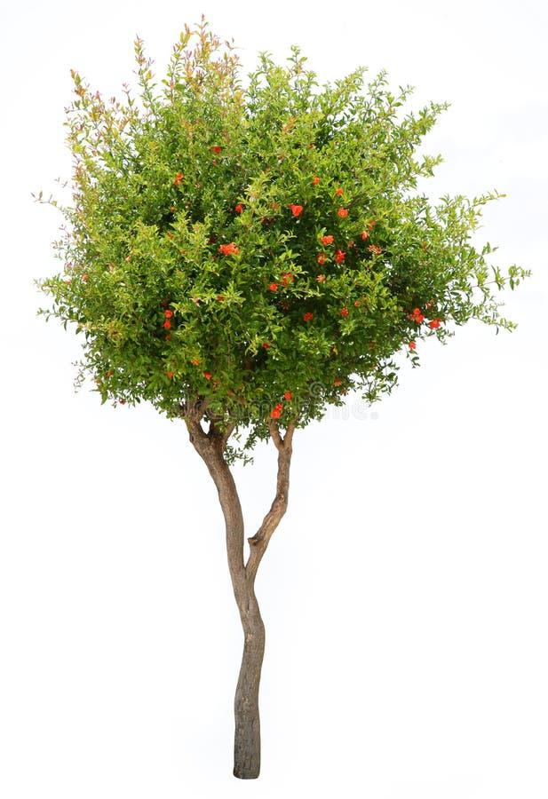 изолированная белизна вала pomegranate стоковое изображение rf