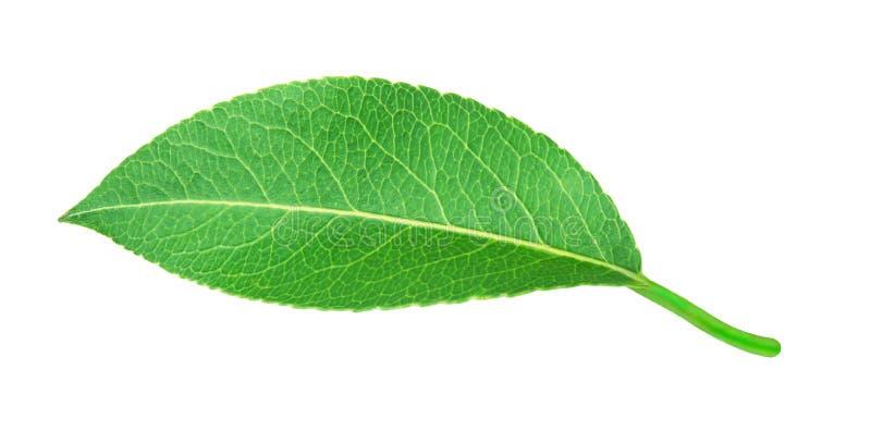 изолированная белизна груши листьев стоковые изображения