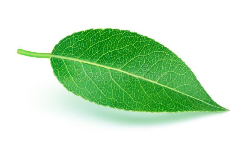 изолированная белизна груши листьев стоковая фотография rf