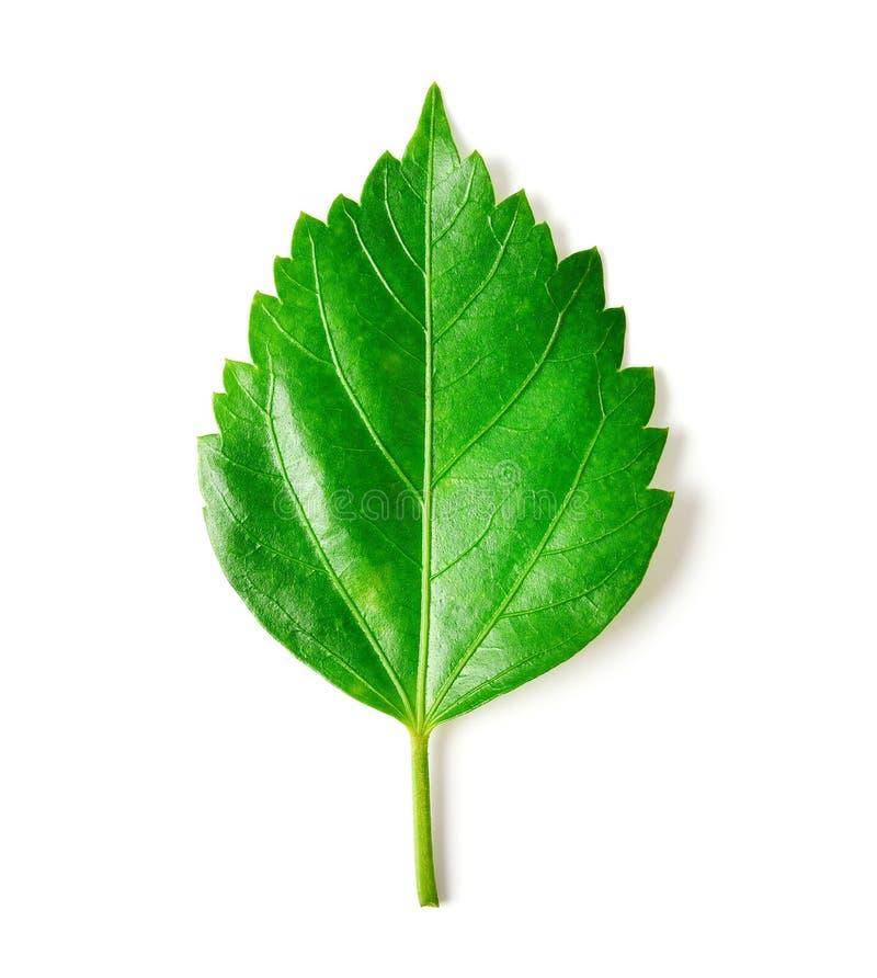 изолированная белизна листьев стоковое изображение