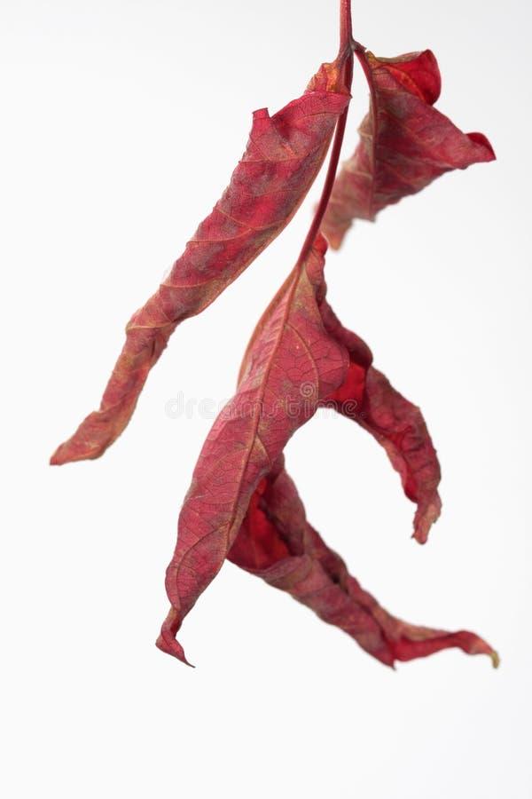 изолированная белизна листьев стоковые изображения