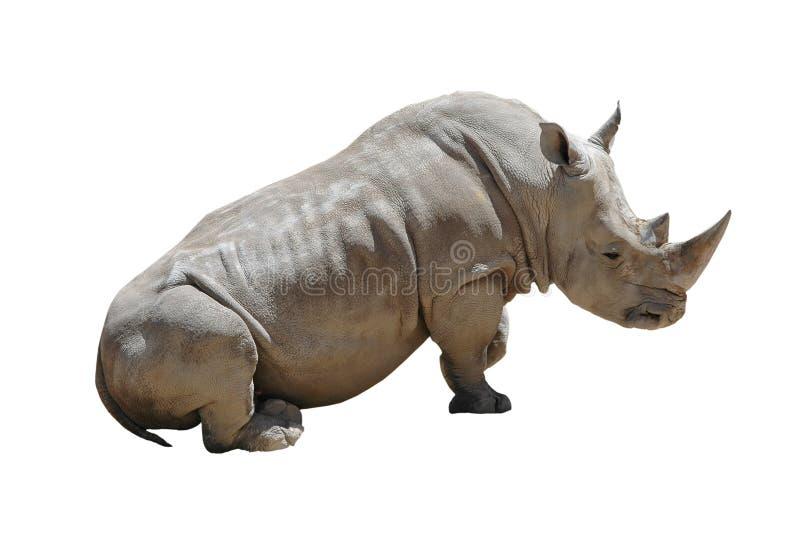 изолированная белизна носорога стоковое фото rf