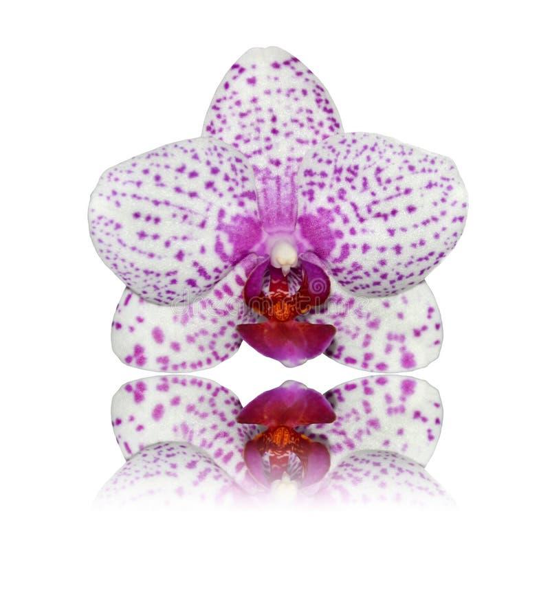 изолированная белизна отражения пинка орхидеи стоковое фото rf