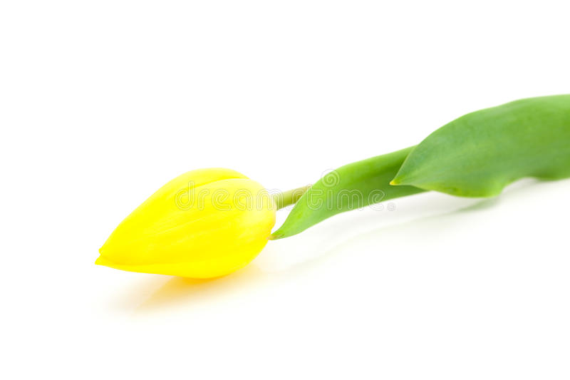 изолированная белизна тюльпана стоковое фото