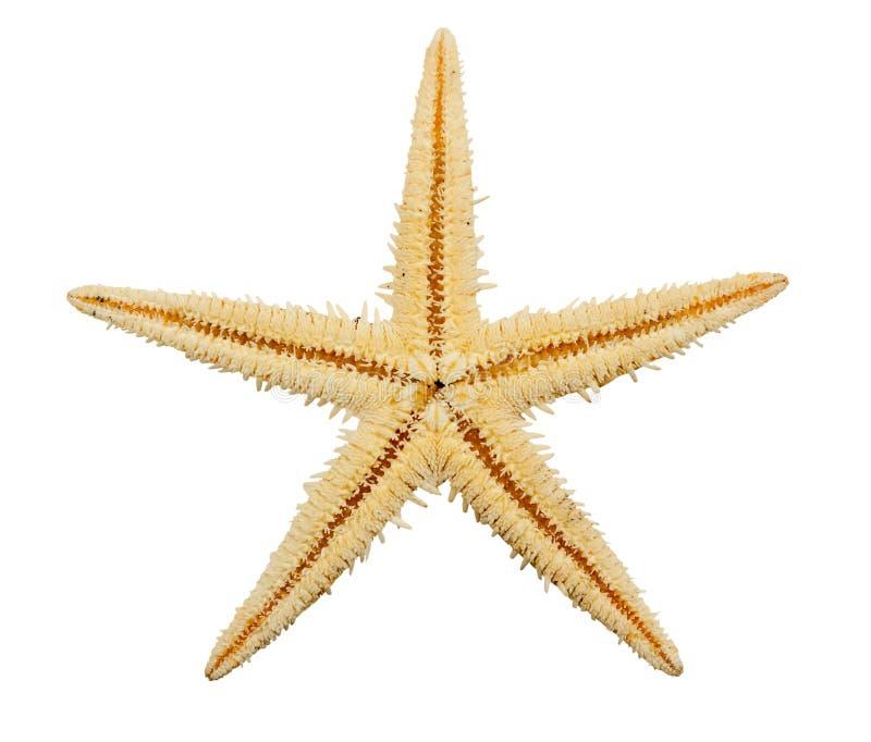 изолированная белизна starfish стоковое изображение