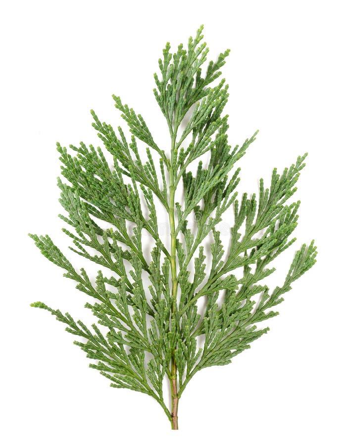 Изолированная ветвь Cypress стоковые изображения rf