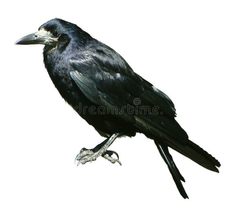 изолированная ворона стоковая фотография