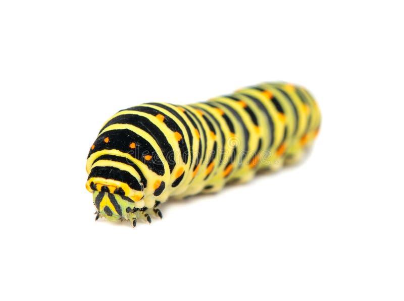 Изолированная гусеница Swallowtail стоковые фото