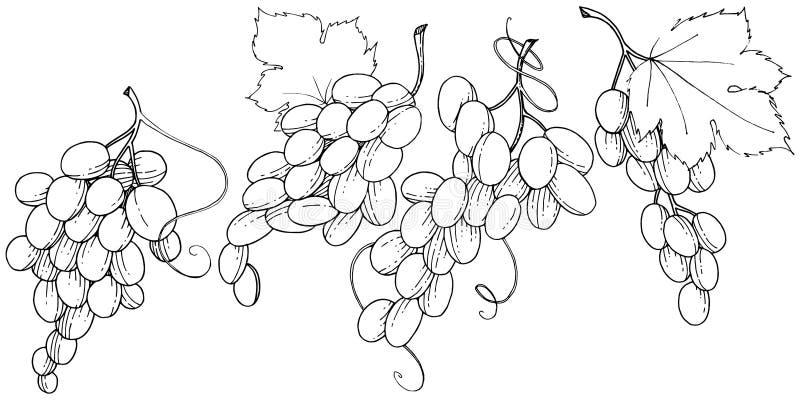 Изолированная еда виноградины здоровая в стиле вектора иллюстрация штока
