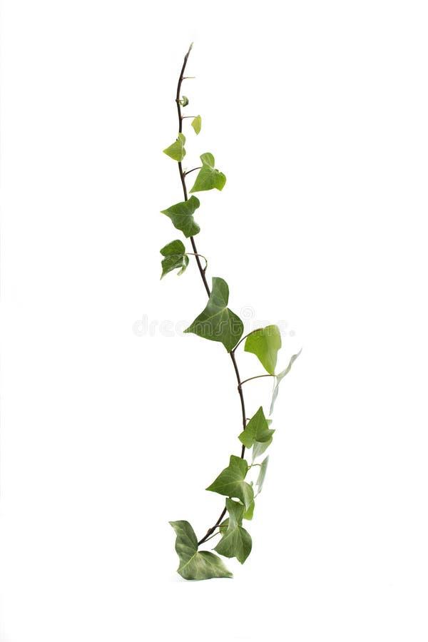 изолированная зеленым цветом белизна плюща стоковая фотография