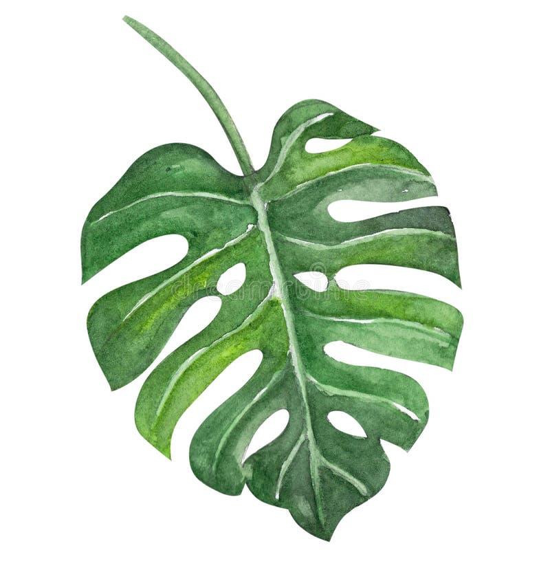 Изолированная иллюстрация акварели листьев зеленого monstera тропическая, бесплатная иллюстрация
